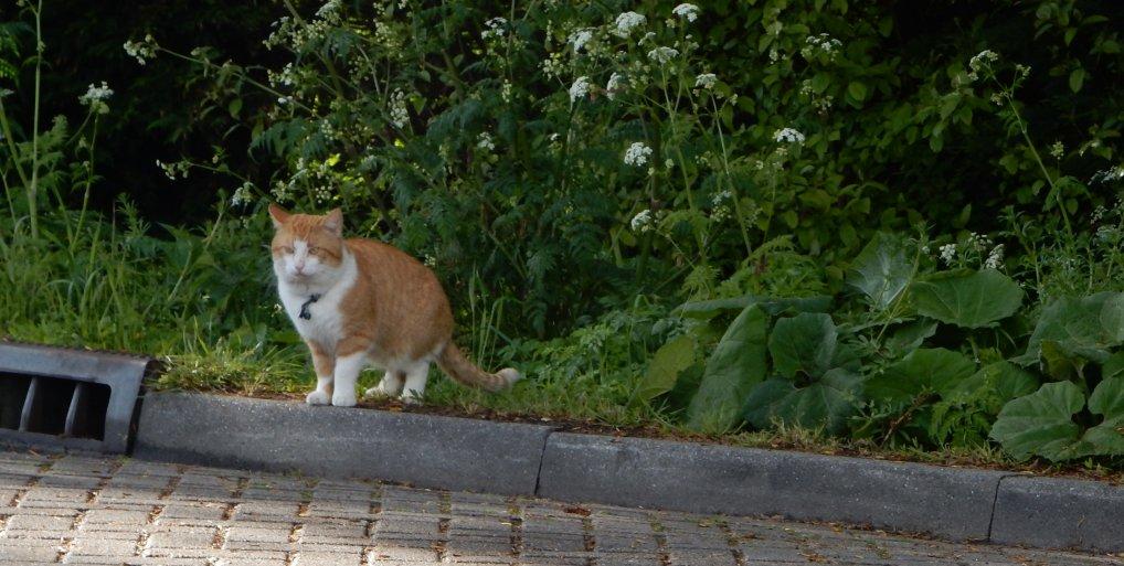 Katten geterroriseerd omgeving Noordweg.