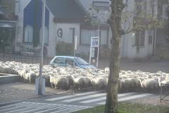 08-12-2013_schapen_over_de_laan
